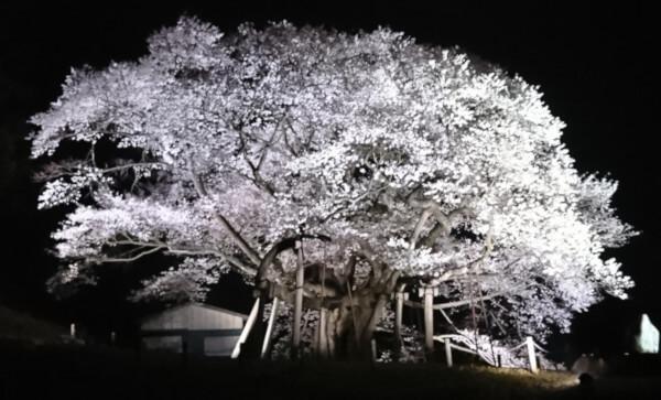 夜にライトアップされた三隅大平桜