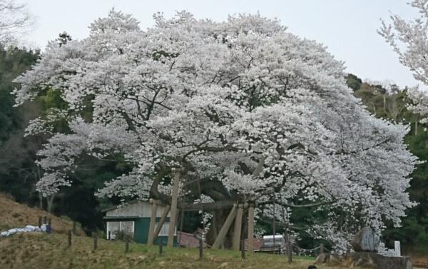 国指定天然記念物三隅大平桜