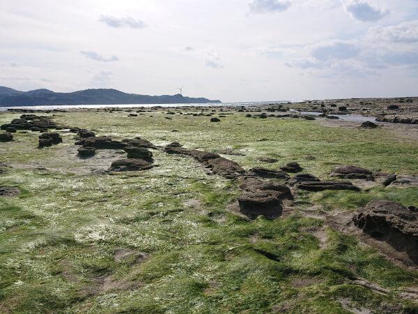 石見畳ヶ浦の藻